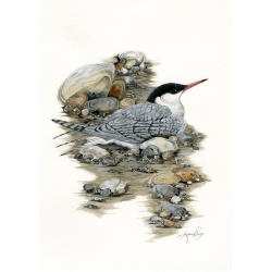 birds-fine-art-prints-common-tern-star-tern-suzanne-perry-art-050b