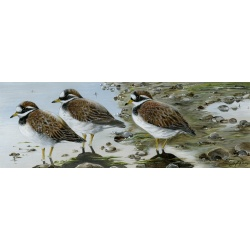 birds-fine-art-prints-ringed-plovers-suzanne-perry-art-116