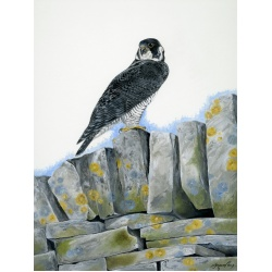 birds-of-prey-paintings-falcon-wandering-falcon-suzanne-perry-art-106